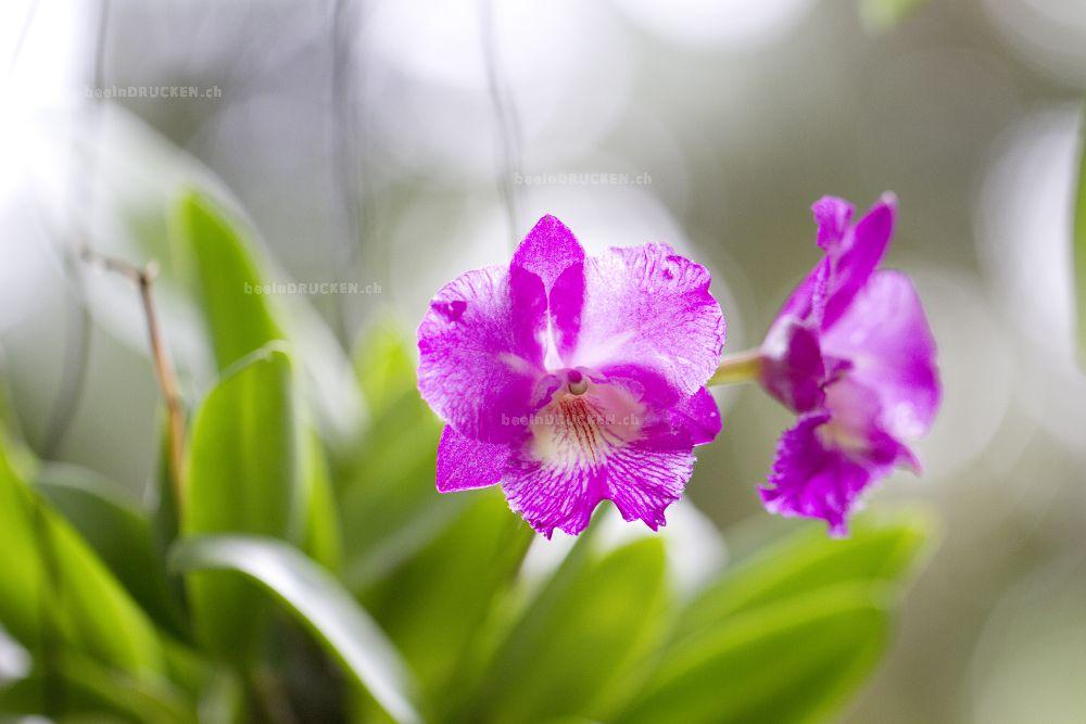 Orchidee 441