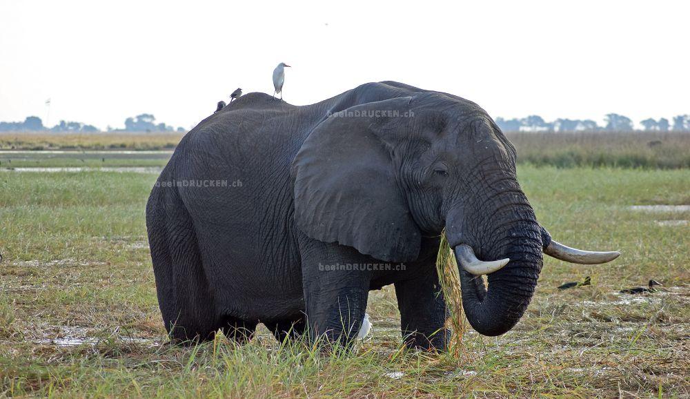 Elefant beim Essen