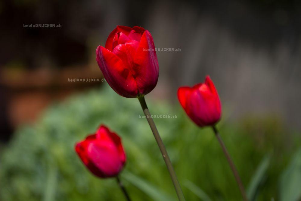Drei Rote Tulpen
