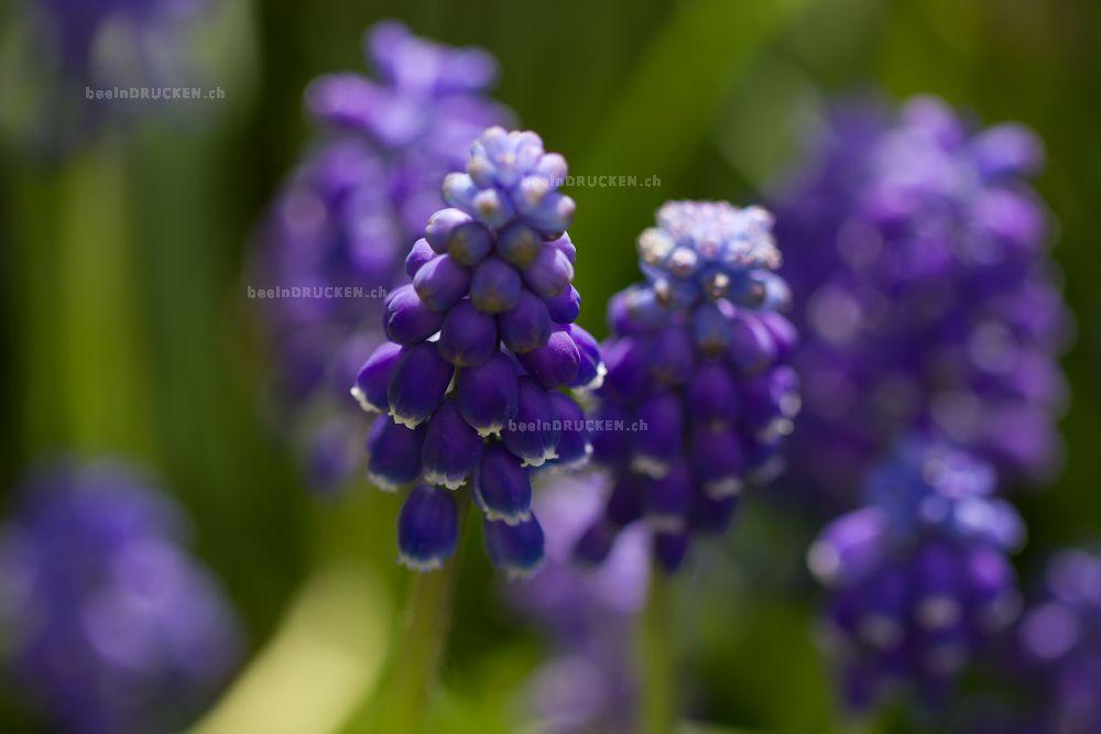 Blaue Traubenhyazinthen