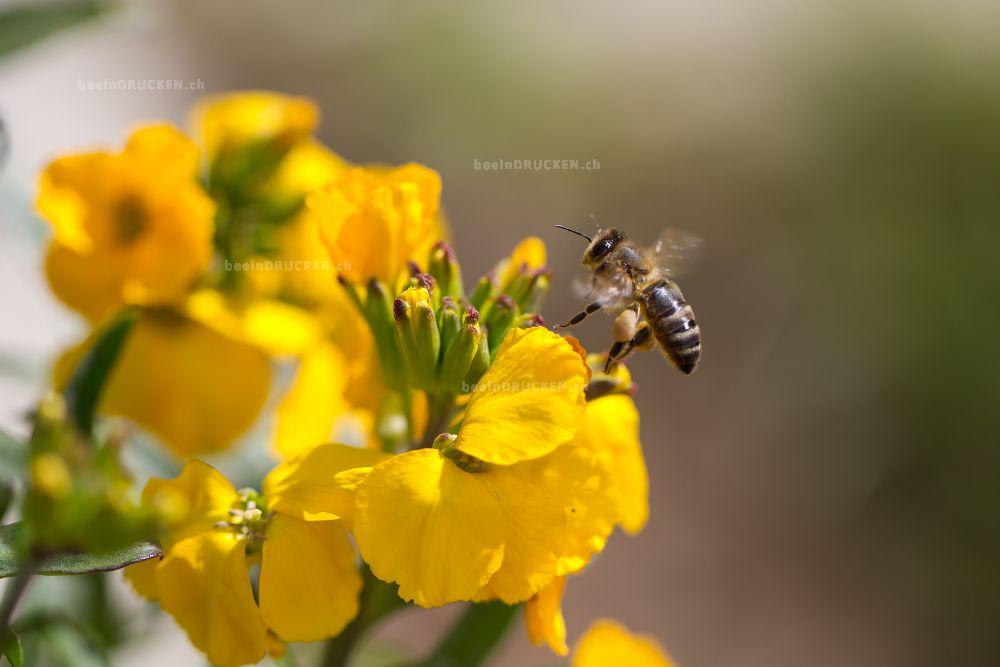Biene auf einer Gelben Blüte