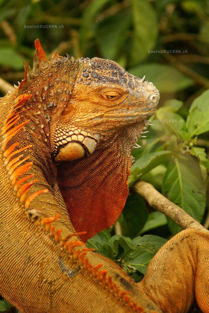 Oranger Leguan
