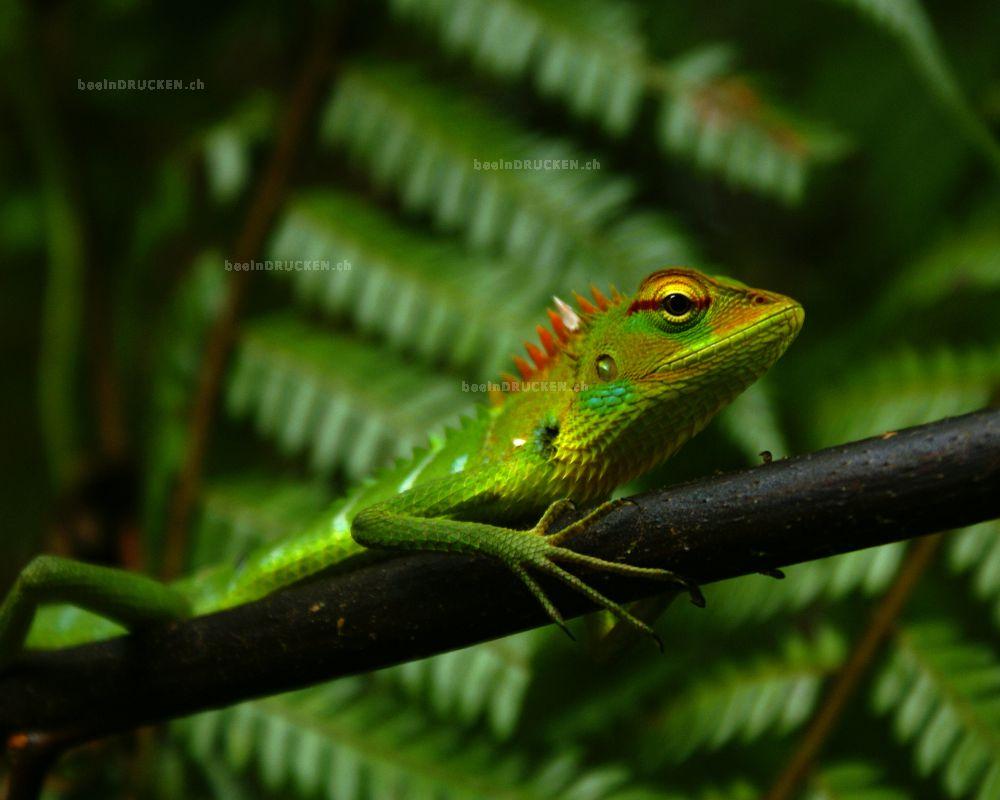 Echse, Sinharaja Forrest Sri Lanka