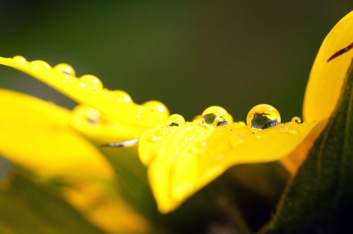 Wassertropfen auf einer Sonnenblume