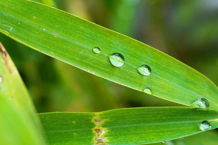 Tropfen auf Bambusblättern