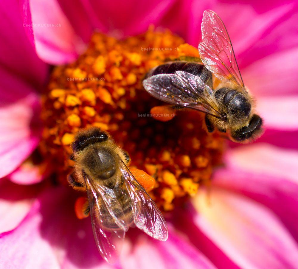 Bienen auf einer pinken Blume