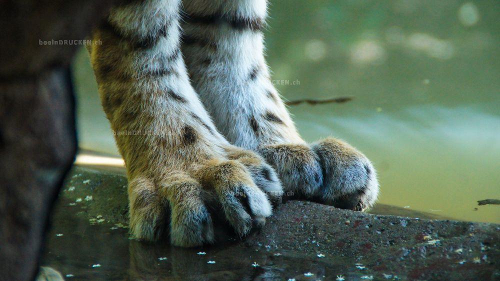 Tigerpfoten