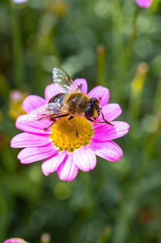 Biene auf einem rosa Gänseblümchen