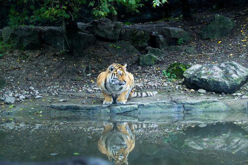 Tiger der sich im Wasser spiegelt