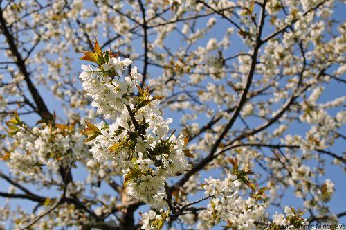 Kirschblüten in der Frühlingssonne