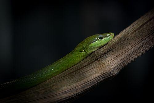 Grüne Baumschlange