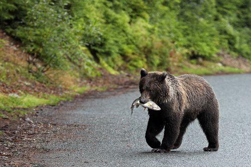 Grizzlybär mit Fisch