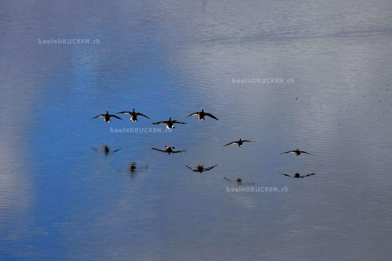 Yukon Ducks